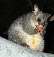 Possum Removal VIC contact details